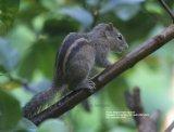 Flame Striped Palm Squirrel.  Tiny squirrel in the Kitulgala Tea Garden.
