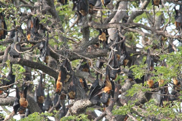 Fruit Bats - Flying Foxes.  Hundreds of them roosting in this tree