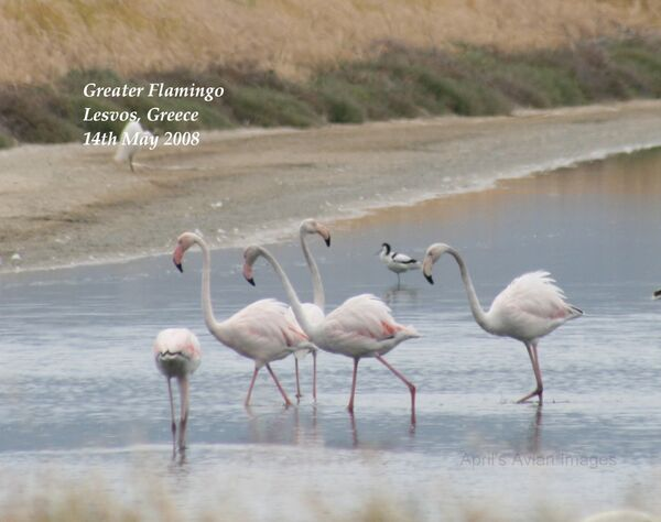 Greater Flamingo ~ May 2008