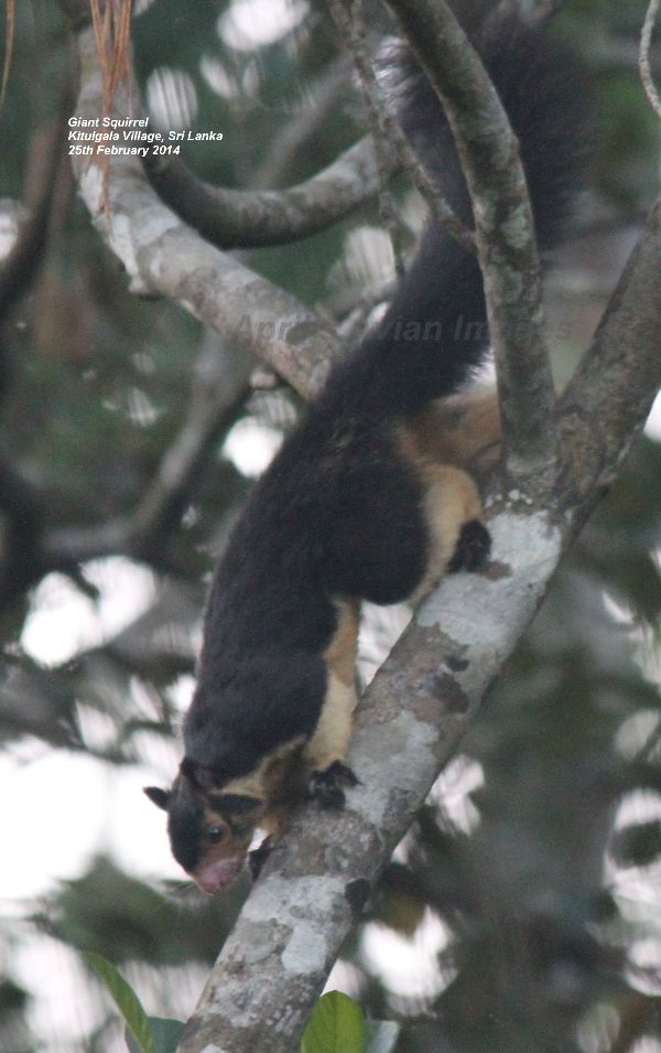 Giant Squirrel.  Giant is the correct name for this splendid two-tone squirrel.  We saw several whilst in Sri Lanka, but this one was seen on a nature walk around Kitulgala Village