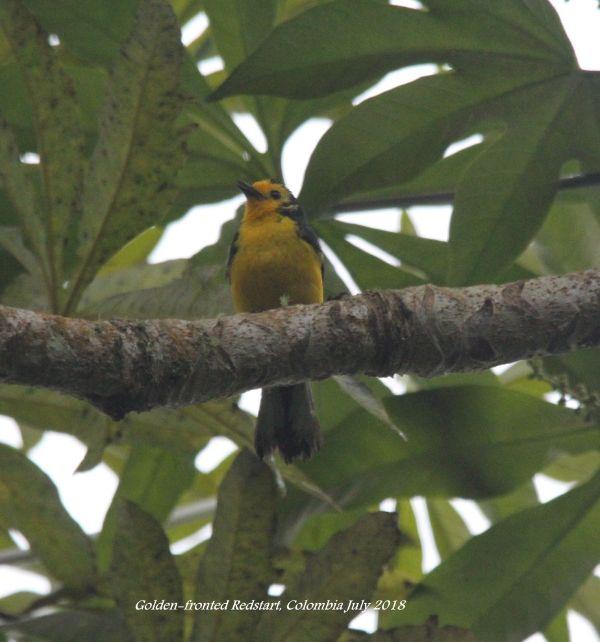 Golden-fronted Redstart