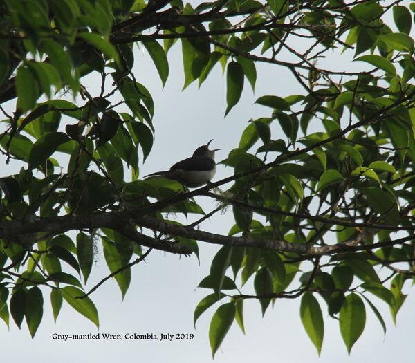 Gray-mantled Wren