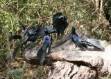 Great-tailed Grackle - group display !!!