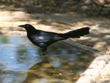 Great-tailed Grackle.  Wonderful birds, lovely glossy plumage