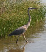 Great Blue Heron, huge elegant bird
