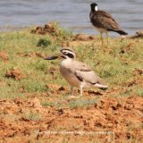 Great Thick Knee.  Prehistoric looking birds, we see the smaller Stone-curlew every year in Norfolk UK.