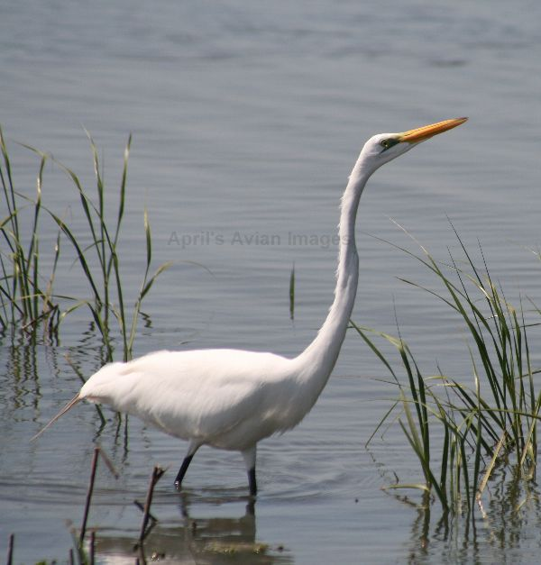 Great White Egret we are seeing more and more of these in Britain now, lovely elegant birds