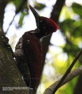 (Greater) Crimson-backed Goldenback Woodpecker