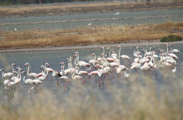 Greater Flamingo ~ May 2018