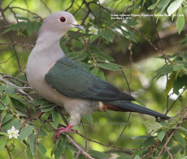 Green Imperial Pigeon.  Such a handsome bird.  He was spotted in a bush just outside our garden room at the Hibiscus Garden Hotel.