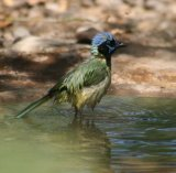 Green Jay, love taking photos of birds bathing