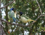 Green Jays, this was taken in a Texas Refuge, but Green Jays were everywhere, great birds.