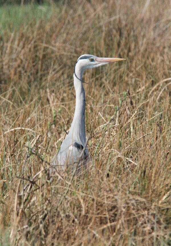 Grey Heron.  These are common in the UK, this one was spotted at Bundala National Park, long way from the UK !