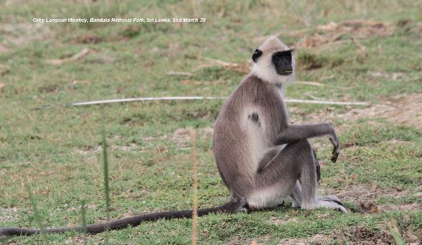 Grey Langour, very inquisitive monkeys, quite happy to sit and watch you drive by.