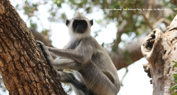 Grey Languor.  Lots of these monkeys in Yala, quite happy to sit and watch you go by.