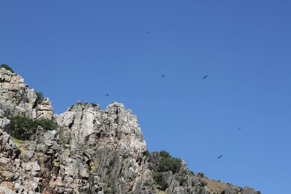 Griffon Vultures in Monfrague National Park