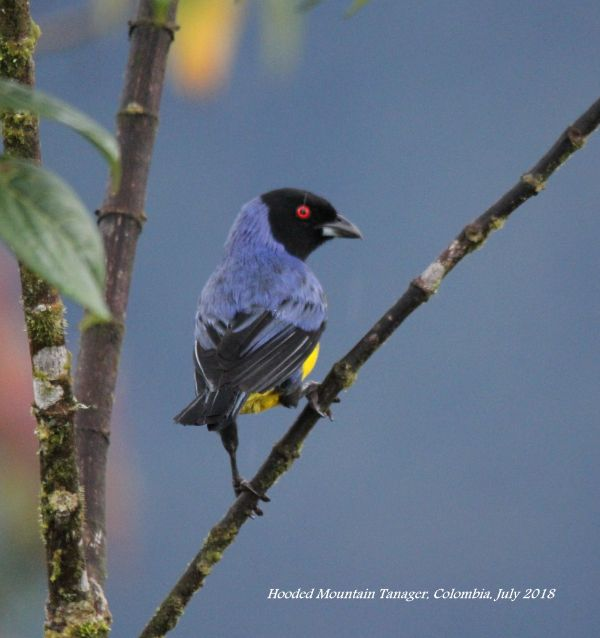 Hooded Mountain Tanager 3