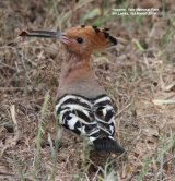 Hoopoe.  We have seen many Hoopoes over the years, in the UK, Spain, Hungary and Greece.  These ones in Sri Lanka are a sub-species and endemic.