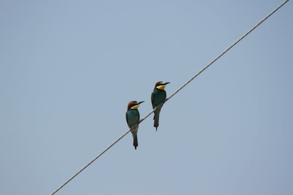 European Bee-eaters ~ May 2018