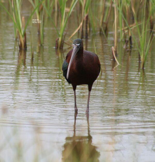 Glossy Ibis ~ May 2010
