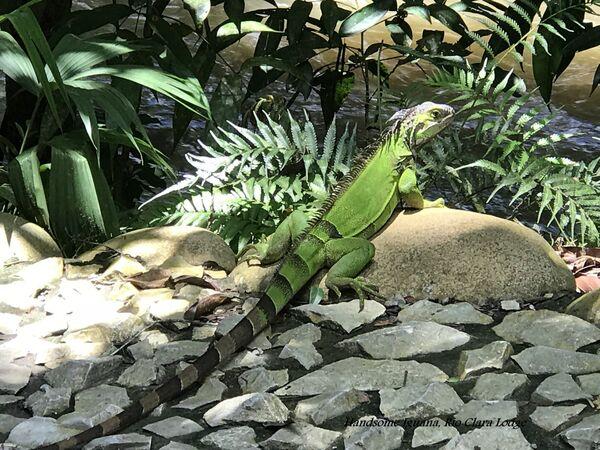 Iguana (