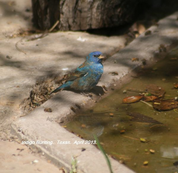 Indigo Bunting, lovely birds and quite common