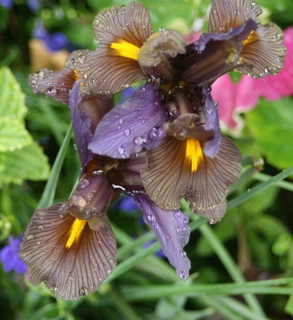 July ~ Garden Iris