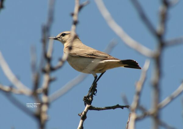 Isabelline Wheatear ~ May 2010