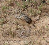 Jerdon's Bushlark.  Strange looking guy, this was taken in Yala National Park