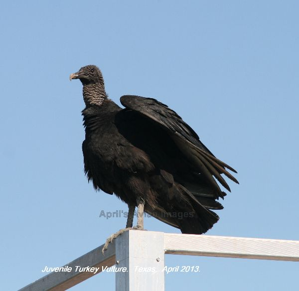 Juvenile Turkey Vulture, this guy landed on the railings of a tower hide, think he was eyeing up Bill's lunch !!!!