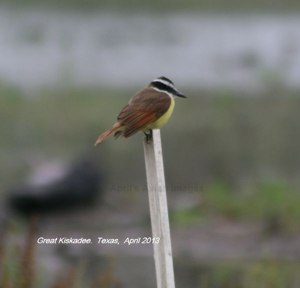 Kiskadee was a bird that I particularly wanted to see and it didn't disappoint