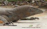 Land Monitor.  wonderful animal !!!