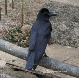 Large-billed Crow.  Very well named bird !! this was in the garden of the Binota Residency Hotel.