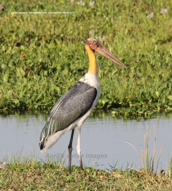 Lesser Adjutant, this was quite a rare bird, but we had some wonderful views at Yala National Park
