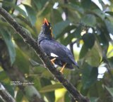 Lesser Hill Myna, this was one of three different species of Myna, and this one was in the Kitulgala Tea Garden.