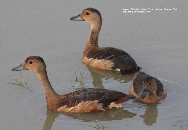 Lesser Whistling Duck.  Pretty little ducks at Bundala