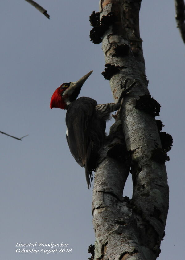 Lineated Woodpecker 1 (2)