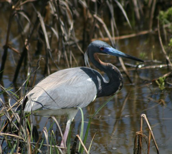 Little Blue Heron, we were lucky with this bird, most of the Little Blues we saw were still in the White phase