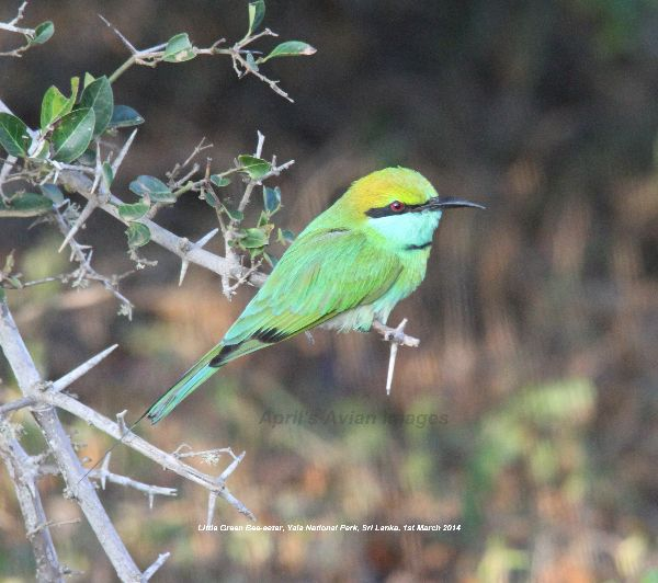 Little Green Bee-eater