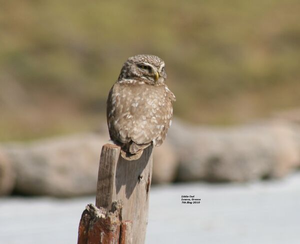 Little Owl ~ May 2010