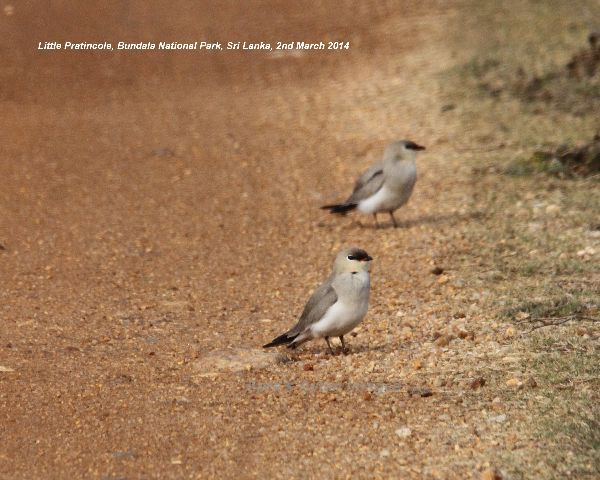 Little Pratincole.  These little birds were a real surprise, wasn't expecting these.