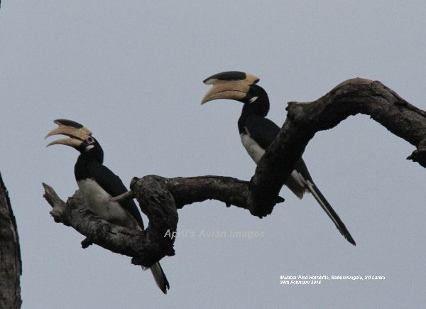 Malabar Hornbill.  These Hornbills were fantastic, a happy couple, enjoying the day  at Buburuwagala