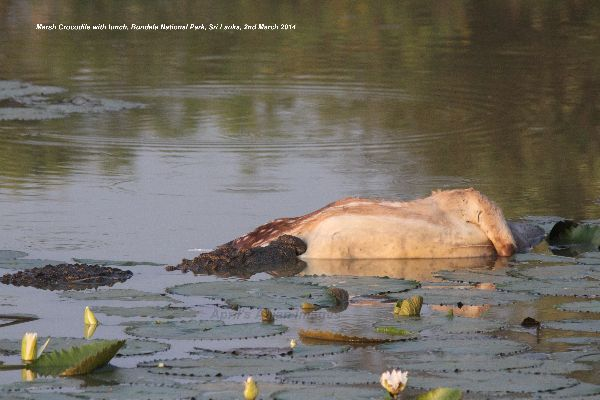 This Marsh Crocodile had caught lunch and wasn't letting anyone else have it ! Bundala National Park.