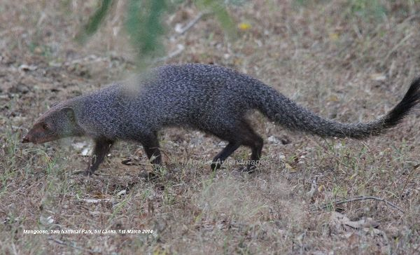 Mongoose.  New mammal for me !!