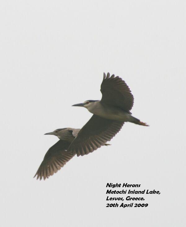 Night Herons ~ April 2009