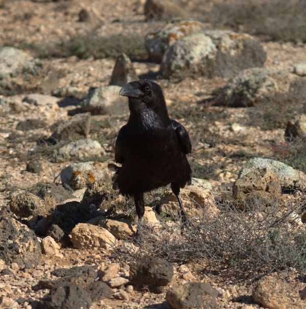 North African Raven 2