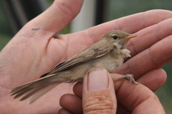 Olivaceous Warbler ~ May 2010