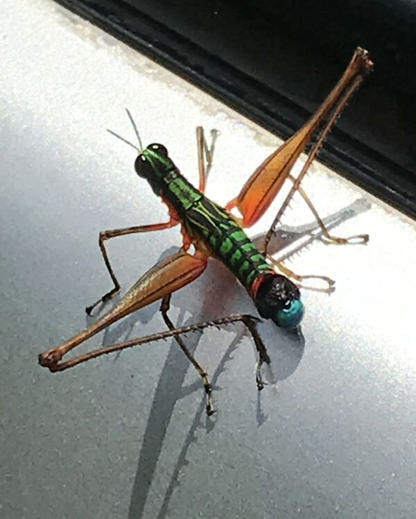 Otun Grasshopper