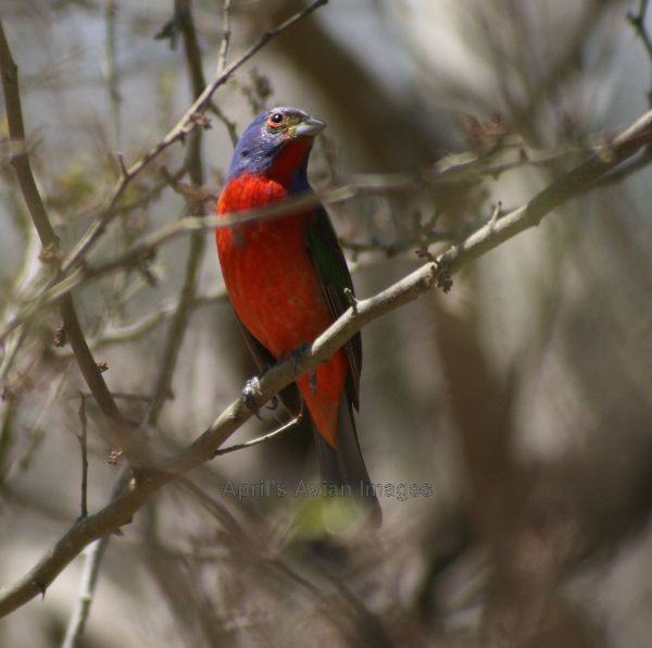 Painted Bunting, these are beautiful, more colour on the wings but I didn't have a chance to photograph it from the back