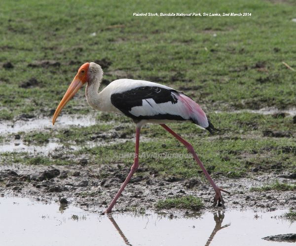 Painted Storks are great birds, huge and colourful, and they were abundant at Bundala National Park